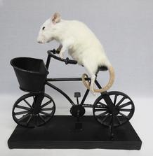 Adrian Johnstone, professional Taxidermist since 1981. Supplier to private collectors, schools, museums, businesses, and the entertainment world. Taxidermy is highly collectable. A taxidermy stuffed Rat Riding A Bike (676) in excellent condition. Mobile: 07745 399515 Email: adrianjohnstone@btinternet.com