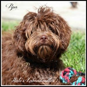 Hale's Australian Labradoodle named Pipa