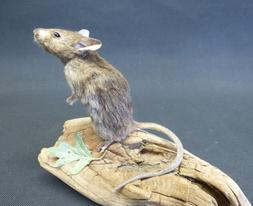 Adrian Johnstone, professional Taxidermist since 1981. Supplier to private collectors, schools, museums, businesses, and the entertainment world. Taxidermy is highly collectable. A taxidermy stuffed Brown Mouse (232), in excellent condition.