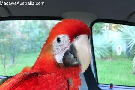 Scarlet Macaws for Sale Australia