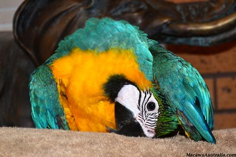 Baby Blue and Gold Macaws Australia