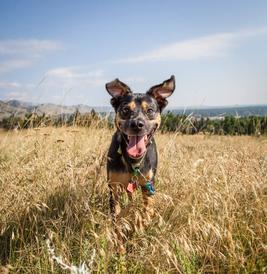 Reggie the dog in long grass at a park in Boulder