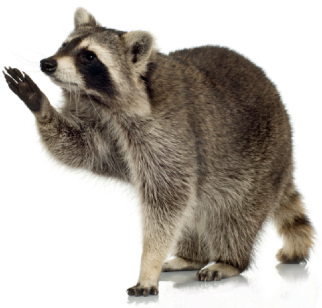 trapping nuisance racoons in the united states We trap pigeons from roofs and your lawn and your property from nuisance wildlife, such as: raccoons, bats, pigeons throughout the united states.