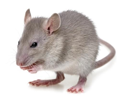 Mice and Rat Control