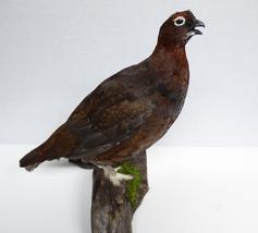 Adrian Johnstone, professional Taxidermist since 1981. Supplier to private collectors, schools, museums, businesses, and the entertainment world. Taxidermy is highly collectible. A taxidermy stuffed Red Grouse (9796), in excellent condition.