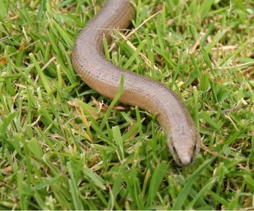 Slow-worm-in-the-grass-France