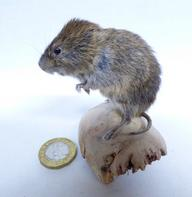 Adrian Johnstone, professional Taxidermist since 1981. Supplier to private collectors, schools, museums, businesses, and the entertainment world. Taxidermy is highly collectable. A taxidermy stuffed Short Tailed Field Vole (612) in excellent condition. Mobile: 07745 399515 Email: adrianjohnstone@btinternet.com
