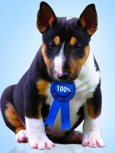 Cambria Miniature Bull Terriers - Miniature Bull Terriers