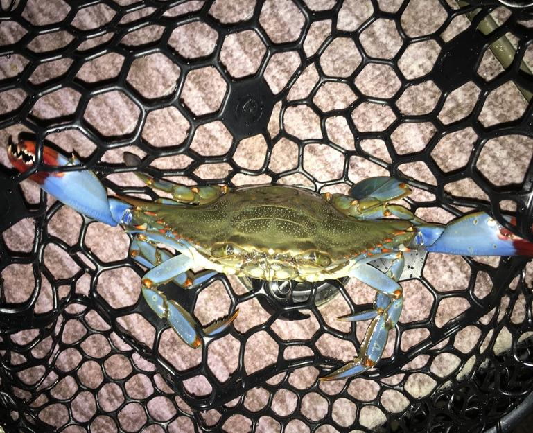 Florida Blue Crab
