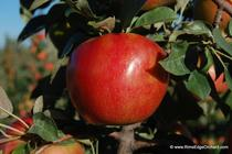 Rim's Edge Orchard Pick Your Own Honeycrisp Apple