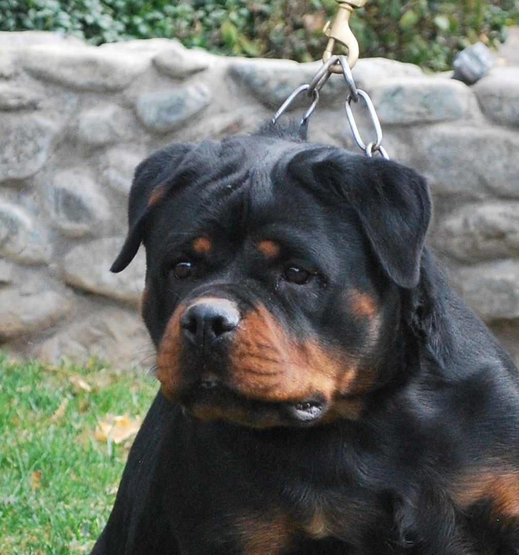 Von Ruelmann Rottweilers inc - German Rottweiler Puppies For Sale