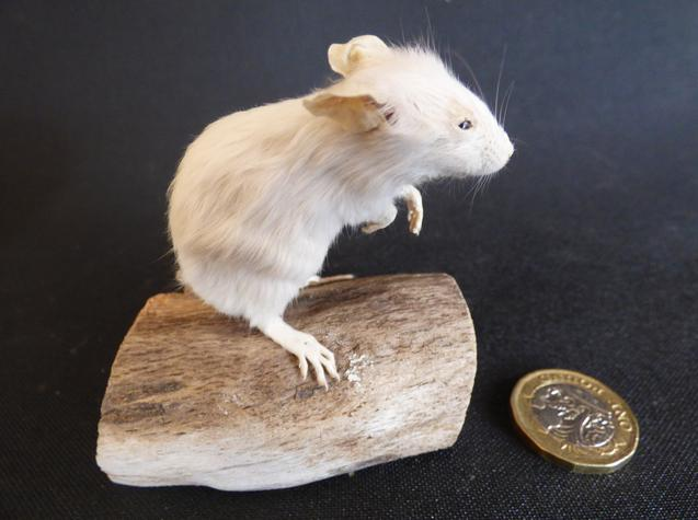Adrian Johnstone, professional Taxidermist since 1981. Supplier to private collectors, schools, museums, businesses, and the entertainment world. Taxidermy is highly collectible. A taxidermy stuffed adult White Mouse (54), in excellent condition.