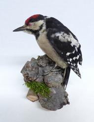 Adrian Johnstone, professional Taxidermist since 1981. Supplier to private collectors, schools, museums, businesses, and the entertainment world. Taxidermy is highly collectable. A taxidermy stuffed Greater Spotted Woodpecker (33a) in excellent condition. Mobile: 07745 399515 Email: adrianjohnstone@btinternet.com