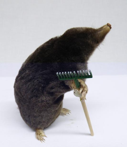 Adrian Johnstone, professional Taxidermist since 1981. Supplier to private collectors, schools, museums, businesses, and the entertainment world. Taxidermy is highly collectible. A taxidermy stuffed Gardening Mole (153) in excellent condition.