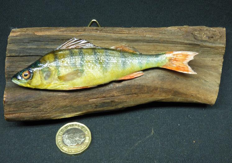 Adrian Johnstone, professional Taxidermist since 1981. Supplier to private collectors, schools, museums, businesses, and the entertainment world. Taxidermy is highly collectable. A taxidermy stuffed Perch (8), in excellent condition.