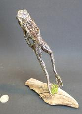 Adrian Johnstone, professional Taxidermist since 1981. Supplier to private collectors, schools, museums, businesses, and the entertainment world. Taxidermy is highly collectable. A taxidermy stuffed leaping Tiger Toad (1), in excellent condition.