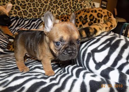 French Bulldog Puppies | Branson | Missouri | Testimonials