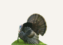 Hunting Turkey Pennsylvania