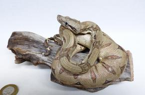 Adrian Johnstone, professional Taxidermist since 1981. Supplier to private collectors, schools, museums, businesses, and the entertainment world. Taxidermy is highly collectable. A taxidermy stuffed Boa Constrictor (690), in excellent condition. Mobile: 07745 399515 Email: adrianjohnstone@btinternet.com