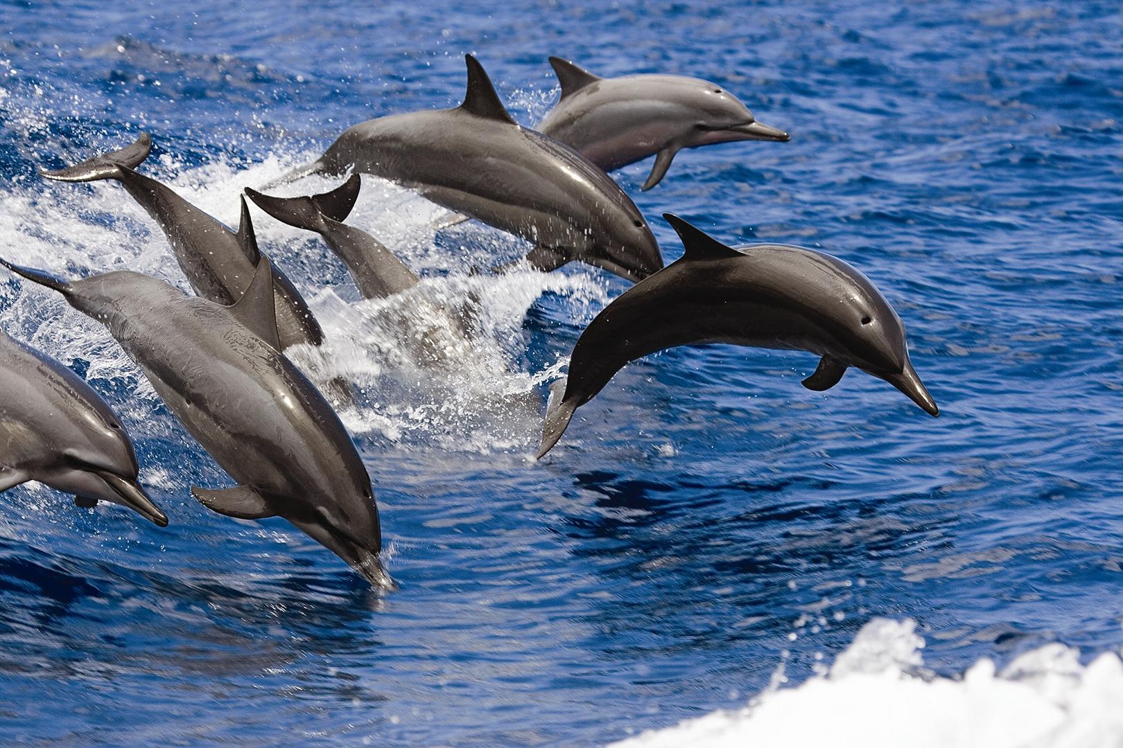 Dolphin Snorkel Sail