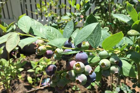 organic blueberries antioxidant garden gem