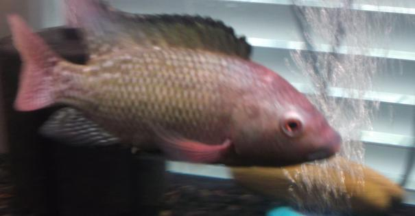 A Blue tilapia male getting ready to spawn and make lots of tilapia fingerlings.