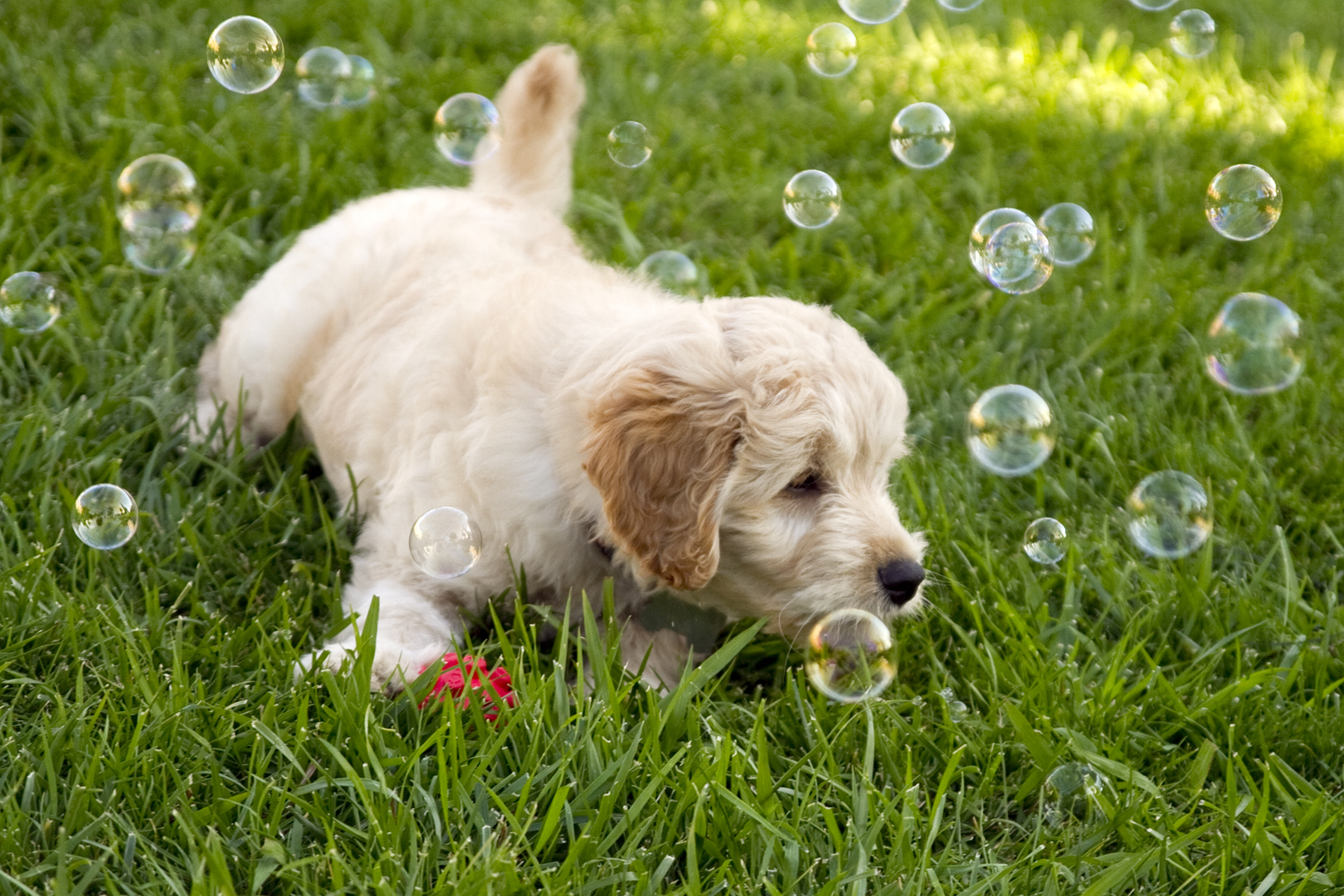 Beth's Little Treasures - Goldendoodle Puppies, Puppy Find, Puppy