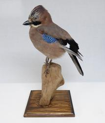Adrian Johnstone, Professional Taxidermist since 1981. Supplier to private collectors, schools, museums, businesses and the entertainment world. Taxidermy is highly collectable. A taxidermy stuffed Jay (9568), in excellent condition.