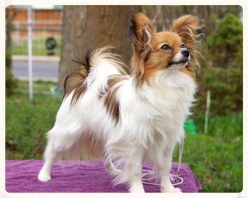 Conformation Dog Show Handling Classes