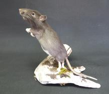 Adrian Johnstone, professional Taxidermist since 1981. Supplier to private collectors, schools, museums, businesses, and the entertainment world. Taxidermy is highly collectible. A taxidermy stuffed Leaping Rat (238), in excellent condition.