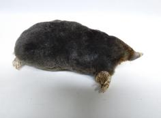 Adrian Johnstone, professional Taxidermist since 1981. Supplier to private collectors, schools, museums, businesses, and the entertainment world. Taxidermy is highly collectible. A taxidermy stuffed Mole (680), in excellent condition. Mobile: 07745 399515 Email: adrianjohnstone@btinternet.com