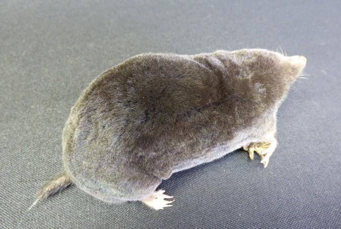 Adrian Johnstone, professional Taxidermist since 1981. Supplier to private collectors, schools, museums, businesses, and the entertainment world. Taxidermy is highly collectable. A taxidermy stuffed adult Mole (27), in excellent condition.