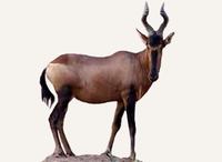 Central African Republic Hartebeest