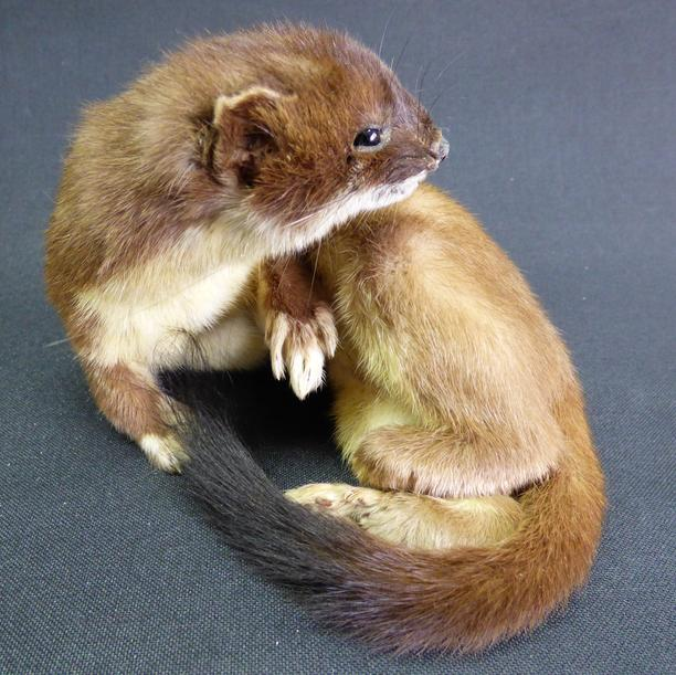 Adrian Johnstone, professional Taxidermist since 1981. Supplier to private collectors, schools, museums, businesses, and the entertainment world. Taxidermy is highly collectable. A taxidermy stuffed adult Stoat (no:51), in excellent condition.