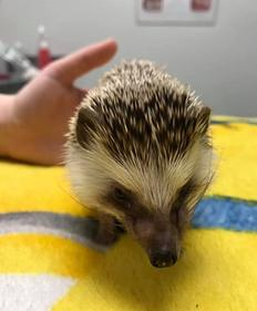 Hedgehog Patient at Dragon Lake Vet Hospital
