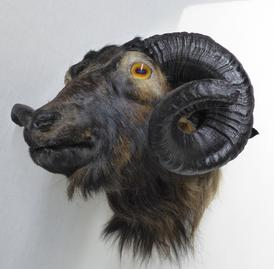 Adrian Johnstone, professional Taxidermist since 1981. Supplier to private collectors, schools, museums, businesses, and the entertainment world. Taxidermy is highly collectible. A taxidermy stuffed Ram Head (605), in excellent condition. Mobile: 07745 399515 Email: adrianjohnstone@btinternet.com