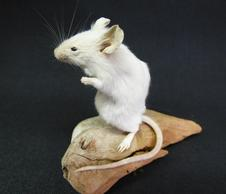 Adrian Johnstone, Professional Taxidermist since 1981. Supplier to private collectors, schools, museums, businesses and the entertainment world. Taxidermy is highly collectable. A taxidermy stuffed adult White Mouse (51), in excellent condition.