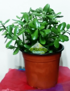 Money plant (large) | Indoor plants | House plants | The Little Flowershop