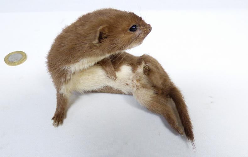 Adrian Johnstone, professional Taxidermist since 1981. Supplier to private collectors, schools, museums, businesses, and the entertainment world. Taxidermy is highly collectable. A taxidermy stuffed Weasel (23), in excellent condition.