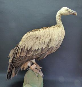Adrian Johnstone, professional Taxidermist since 1981. Supplier to private collectors, schools, museums, businesses, and the entertainment world. Taxidermy is highly collectable. A taxidermy stuffed antique Griffon Vulture (9654), in excellent condition.
