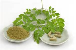 Moringa Horseradish Tree Davie South Florida Broward