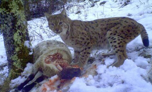 Lynx-with-sheep-kill-in-France