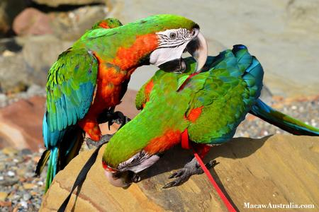 Harlequin Macaws for Sale