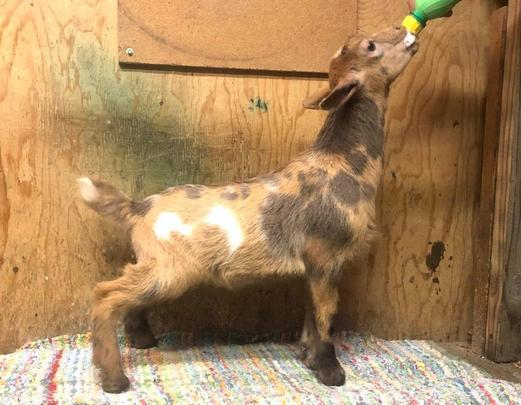 Five-O, Nigerian Dwarf goat, at my peeps farm