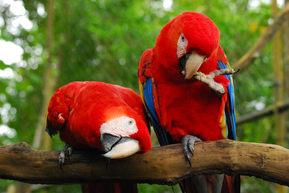 picture of a beautiful red parrot
