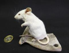 Adrian Johnstone, professional Taxidermist since 1981. Supplier to private collectors, schools, museums, businesses, and the entertainment world. Taxidermy is highly collectable. A taxidermy stuffed White Mouse (47), in excellent condition.