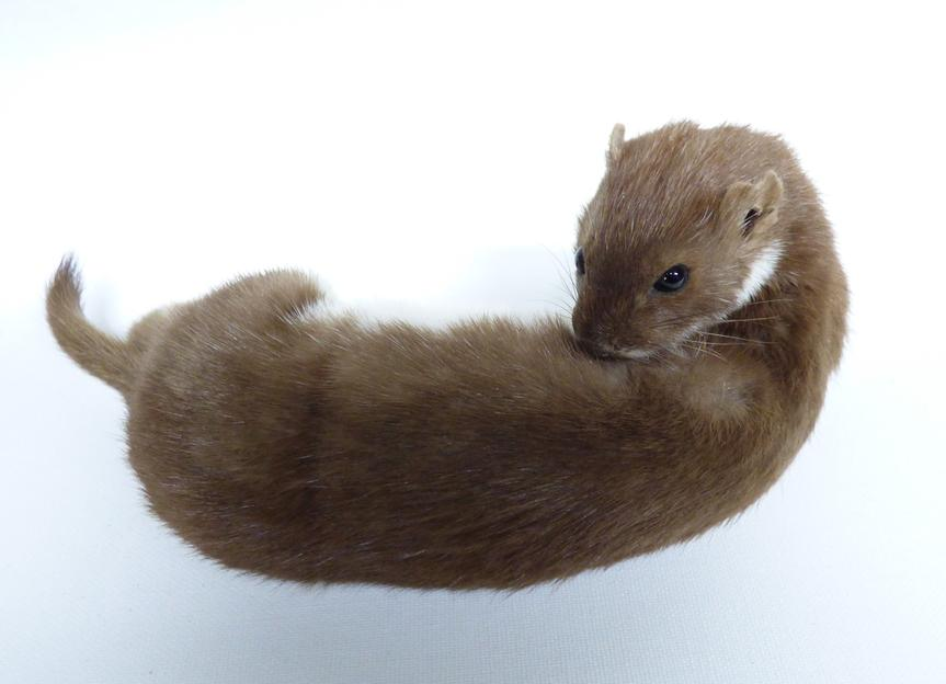 Adrian Johnstone, professional Taxidermist since 1981. Supplier to private collectors, schools, museums, businesses, and the entertainment world. Taxidermy is highly collectable. A taxidermy stuffed Weasel (201), in excellent condition.