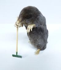 Adrian Johnstone, Professional Taxidermist since 1981. Supplier to private collectors, schools, museums, businesses and the entertainment world. Taxidermy is highly collectible. A taxidermy stuffed Gardening Mole (153), in excellent condition.