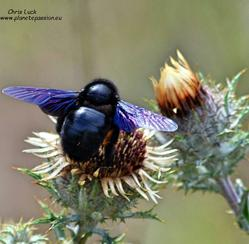 Carpenter-bees-France