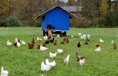 blue chicken house with hens roaming about